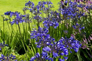 agapanthus-flowers-869092_640