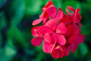 flower-pink-macro-geraniums